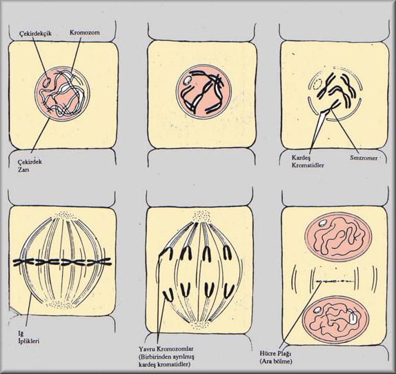 Bitki Hücresinde Mitoz Bölünme Evreleri