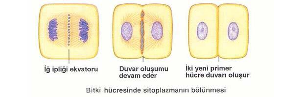 Mitoz Bölünme Evreleri - Bitki Hücresinde Sitokinez Mitoz Bölünme