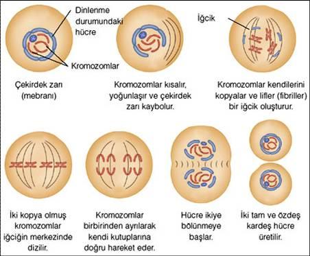 Hayvan Hücresinde Mitoz Bölünme Evreleri
