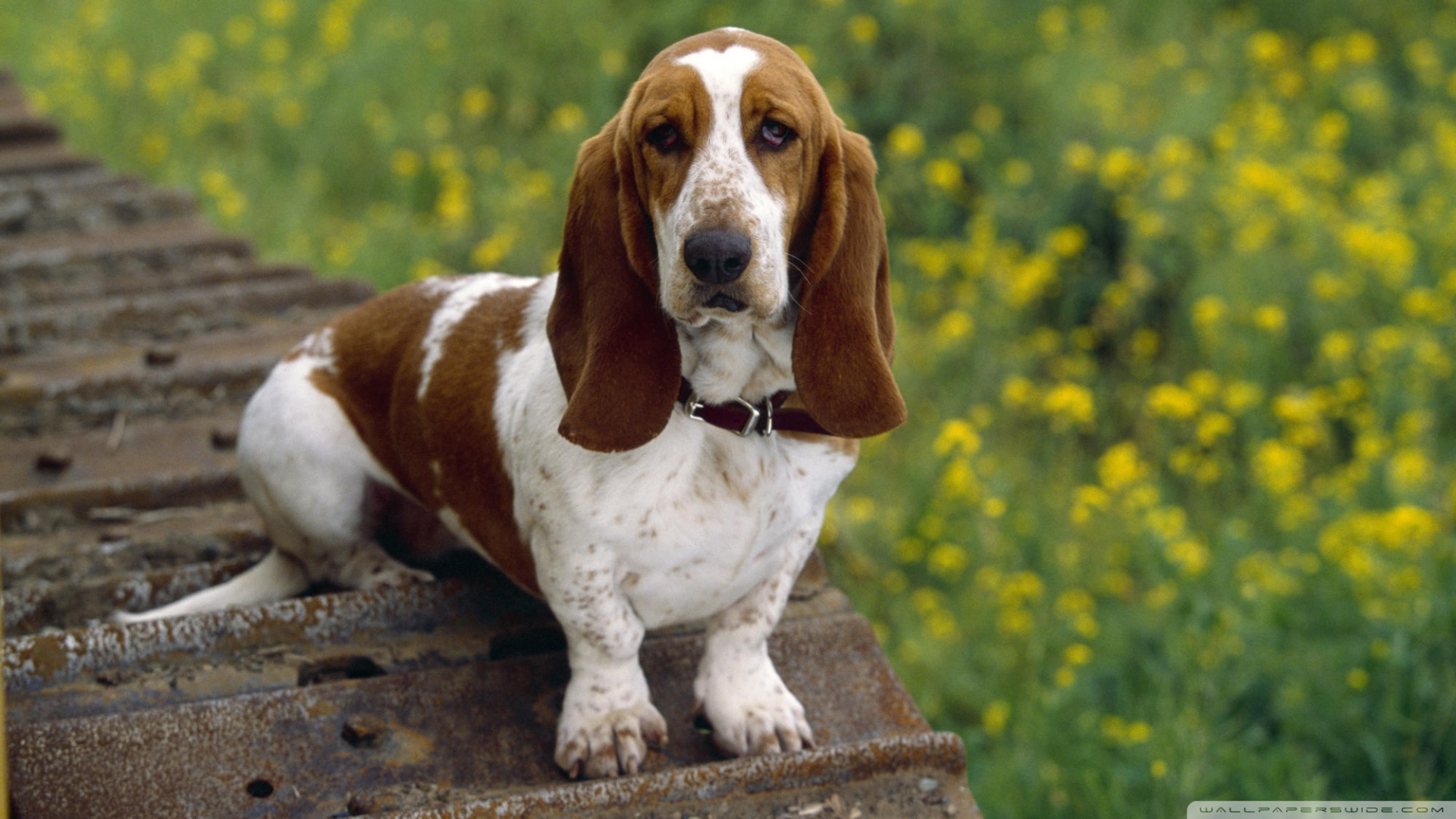 Köpek Temalı 25 Adet Duvar Kağıdı! (6)