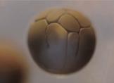 33 Saat Süren Gerçek Hücre Bölünmesini 23 Saniyede İzleyin (Video)