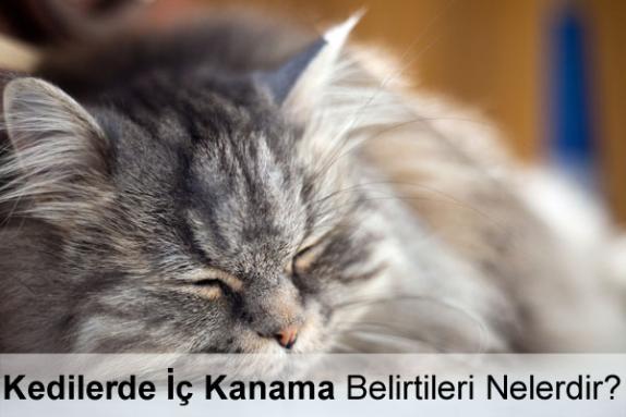 Kedilerde İç Kanama Belirtileri Nelerdir?