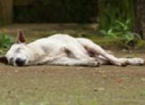 Köpeklerde İç Kanama Belirtileri ve Sebepleri