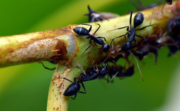 Karıncalar Hakkında Bilgi - 3