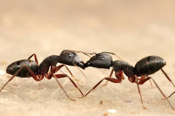 Karıncalar Hakkında Bilgi - 6