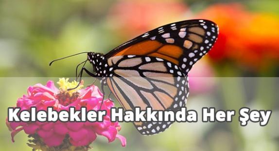 Kelebekler Hakkında Muhteşem Bilgiler